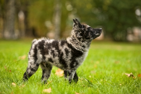 Mudi: An Australian Shepherd, but fuzzier